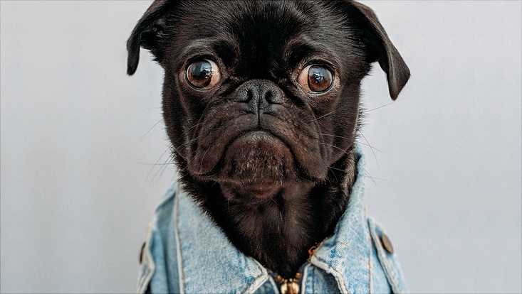 Hund in Jeansjacke