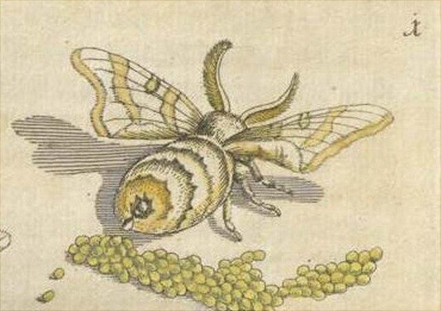Merian: Der Raupen wunderbare Verwandelung