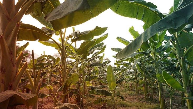 Bananenbäume auf grauem Feld