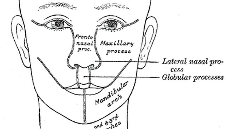 abbildung aus gray's anatomy